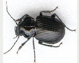Powder Post Beetle