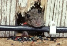 rodent-image 1